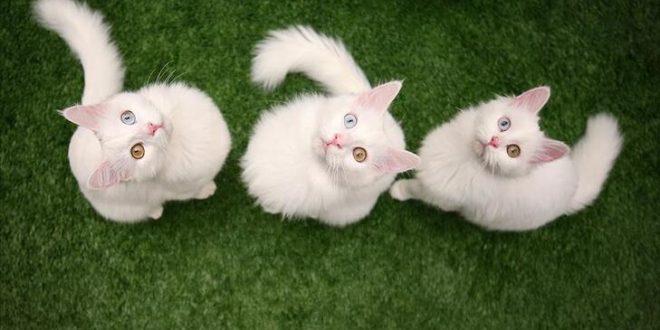 Kedi Nedir