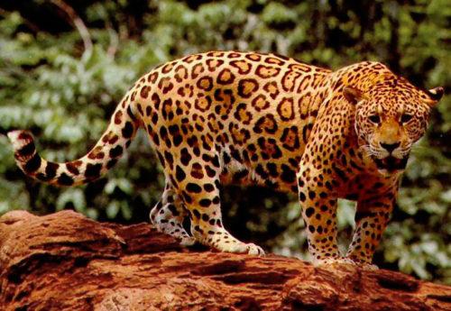 Jaguar Nedir