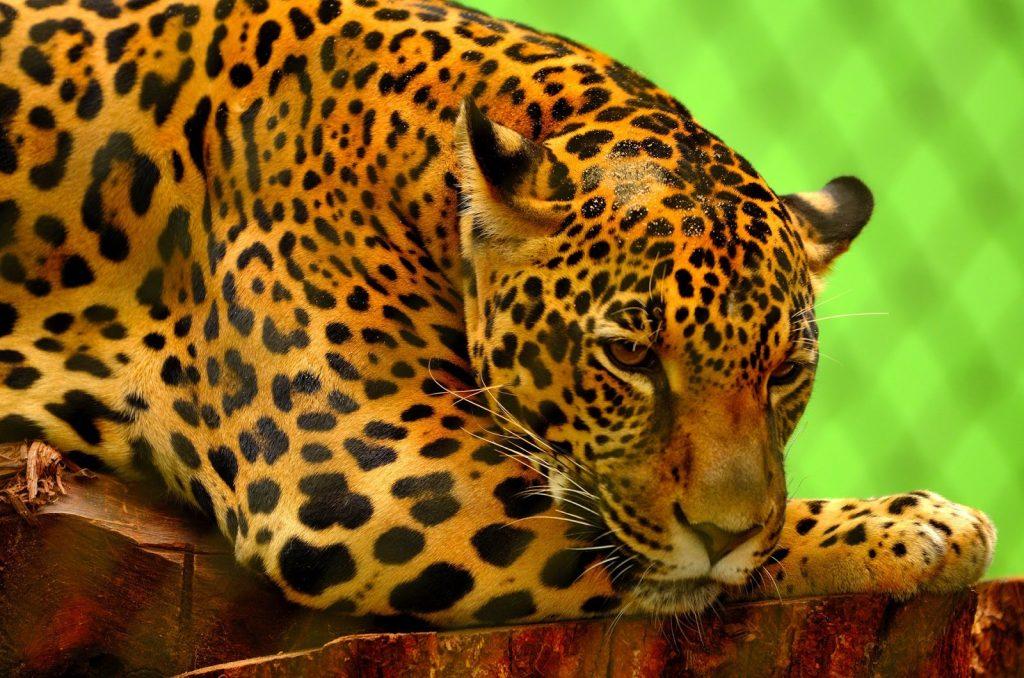 Jaguarlarda Avlanma Nasıldır
